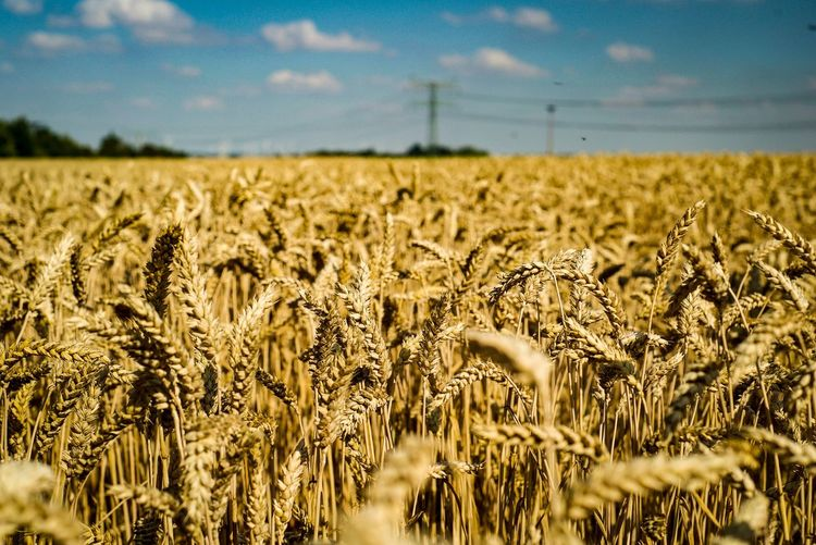 Ernte Gold Pic Photography Photooftheday Picoftheday Photo Sony A7 Sun Summertime Summer Field Corn