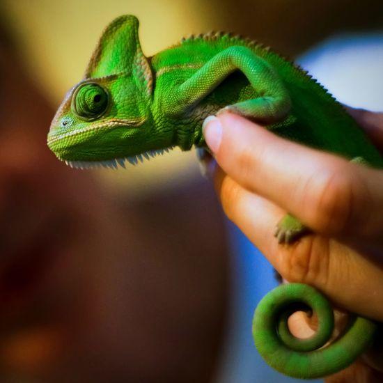 Chameleon On Persons Finger