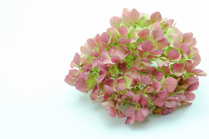 dry hydrangea inflorescence Hydrangea Beauty In Nature Close-up Day Floral Arrangment Flower Flower Head Fragility Freshness Inflorescence Leaf Nature No People Petal Pink Color Plant Rose - Flower Studio Shot White Background