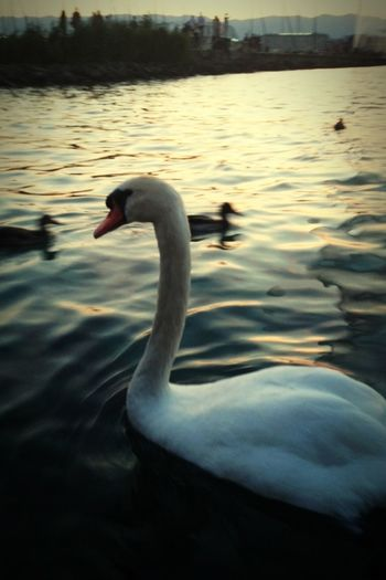 Geneve Cygne Heat Goodnight Lakeparade2015 Lespiedsdansl'eau