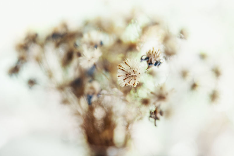bouqet of dry wild flowers, close-up Backlight Composition Beauty Bokeh Bouqet Bunch Of Flowers Close-up Cosy Dry Flowers Flower Flower Head Flufy Focus On Foreground Fragility Indoors  Nature Plant Rural Life Selective Focus Small Softlight  Still Life Vulnerability  White Color Wild Flower