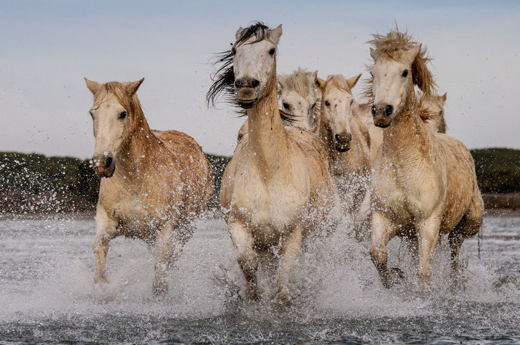 Animals In The Wild Camargue EyeEm Nature Lover Golden Hour Horses Photography Running Wild Travel Photography Horse Running Freedom Mammal Running Free Power In Nature White Animals Travel Traveling Outdoors Wild Wildlife & Nature The Great Outdoors - 2017 EyeEm Awards