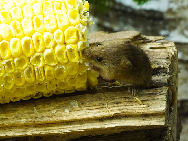 Animal Themes Animal Wildlife Animals In The Wild Close-up Corn Day Field Mouse Food Mammal Mouse Nature No People One Animal Outdoors Yellow