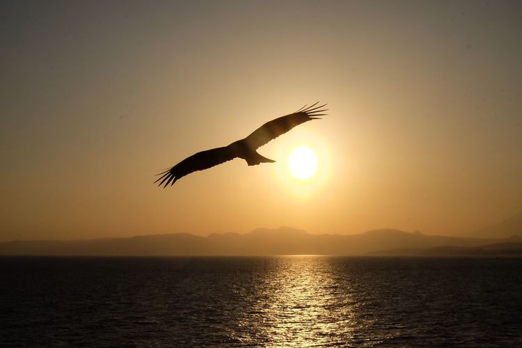 Freedom Sunset Silhouette Sun Nature Beauty In Nature Bird Sea Flying Scenics Water Mid-air Spread Wings Tranquil Scene Sunlight Sky Sea And Sky Seascape Hawk Eagle - Bird Eagle Ocean View Sunset Silhouettes Sunset_collection Freedom! Free