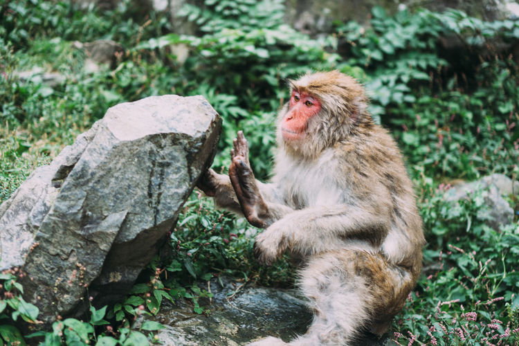 Monkeys sitting on rock