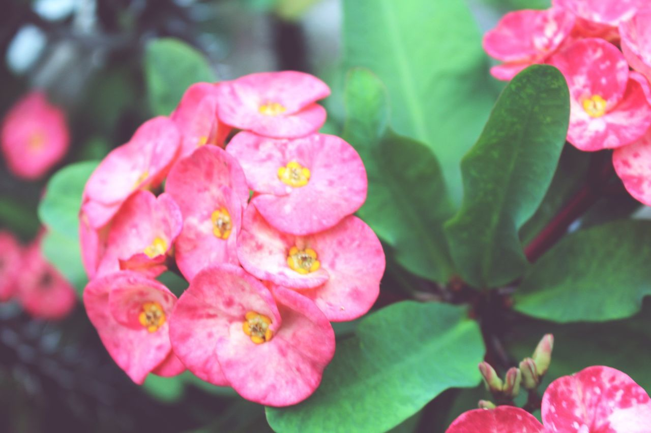 pink color, flower, growth, petal, beauty in nature, fragility, nature, plant, freshness, no people, flower head, outdoors, day, leaf, close-up, blooming, periwinkle
