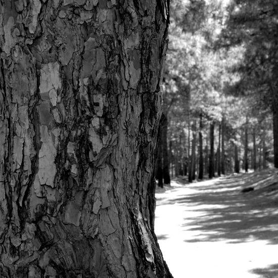 کاج جنگل درخت سیاه و سفید Jungle Tree Pine Piñón B&w Black And White Iran♥ Iran ایران ایران را باید دید ایران را باید دید Must See Iran Wood چوب