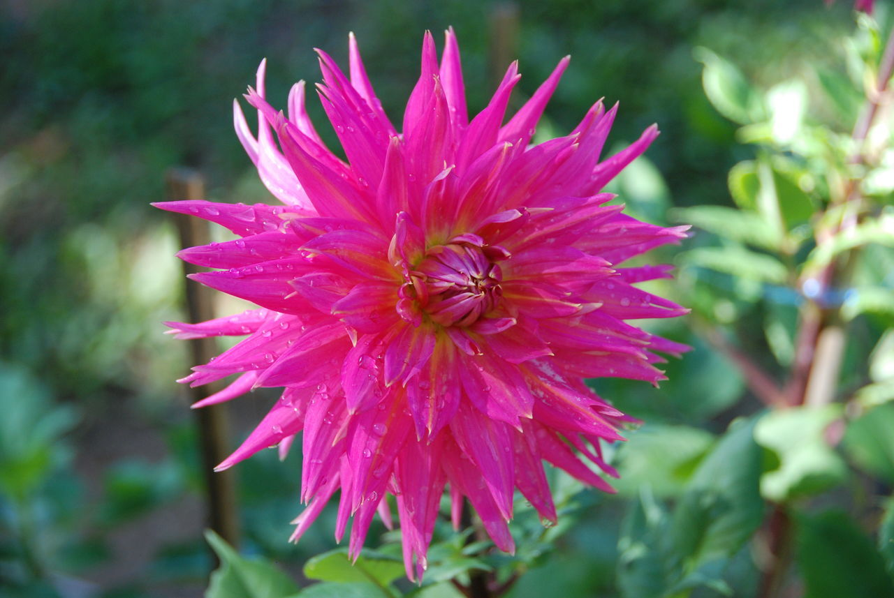 flower, growth, petal, nature, fragility, beauty in nature, freshness, flower head, plant, day, outdoors, blooming, focus on foreground, no people, close-up