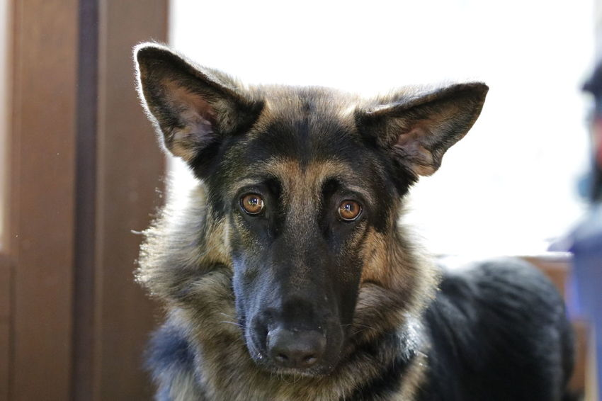 Portrait Pets Looking At Camera Dog Ear German Shepherd Close-up Animal Nose Animal Eye Animal Face Nose Eye Snout