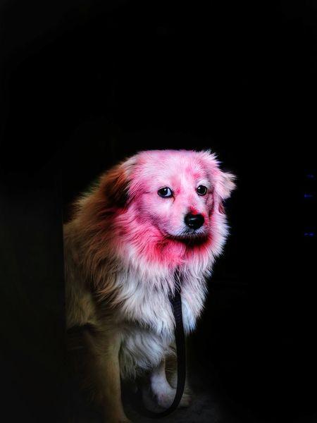 Holi with casper 🐕🐶 Google Pixel 2 Holi Celebration Holi Festival Holi Colors Dog Love Dog Dog Photography Dog Pets Portrait Portrait Photography Black Background Holi