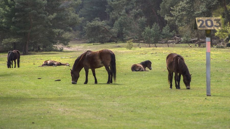 Wildlife Animal Themes Grass Field Mammal Grazing Outdoors Animals In The Wild Horses Wildhorses Asleep Awake 203 Numbers Forest Landscape Nikon Five Animals Full Frame D750 Horse Forest Photography Netherlands