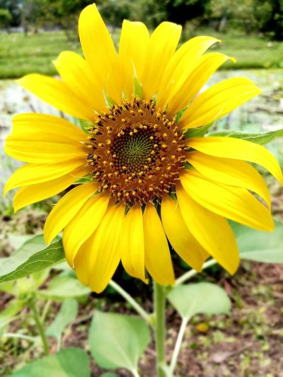 Beauty In Nature Close-up Day Flower Flower Head Flowering Plant Focus On Foreground Freshness No People Outdoors Plant Sun Flower Yellow