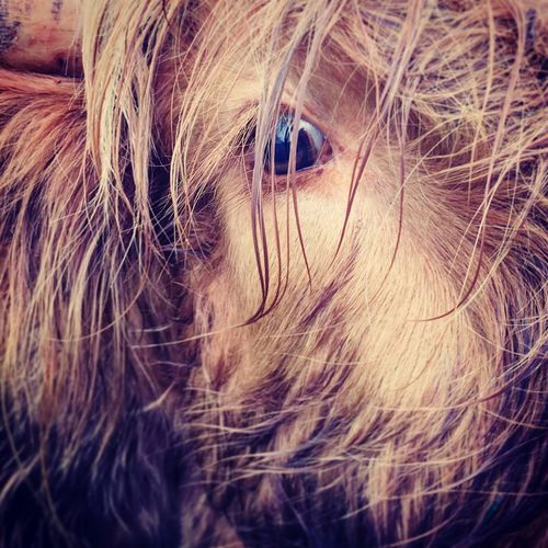 HighlandCows Close-up Eye Hairy