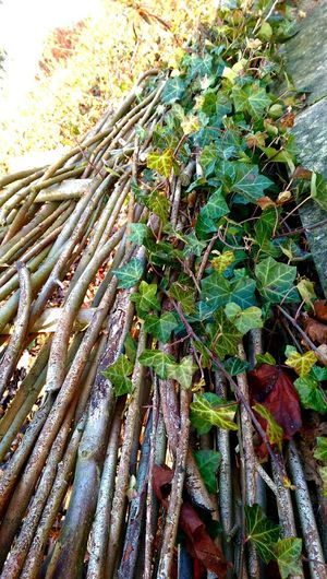 Ivy Nature Plant Beauty In Nature Low Angle View Nature At Its Best Nature Leaf Outdoors Nature Photography Natural Beauty Naturelover