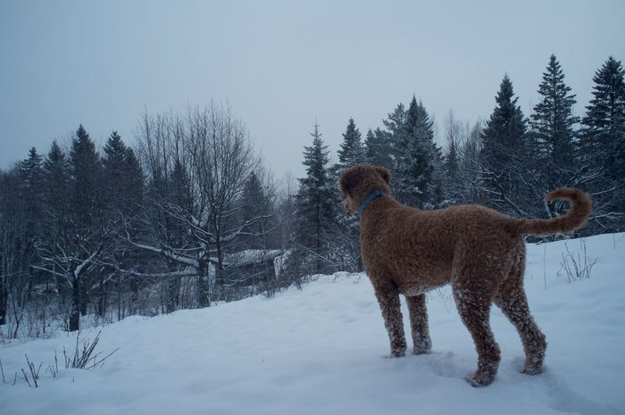 January 26, 2016 Bare Tree Cold Cold Temperature Covered Covering Day Dog Domestic Animals Duluth Field Frozen Goldendoodle Minnesota No People Outdoors Season  Snow Weather Winter Zoology
