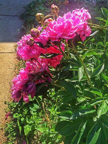 Flowers Flowers,Plants & Garden In Between The Flowers~entre Las Flores EyeEm Nature Lover Flowerporn EyeEm Best Edits The Flowers Series Flower Collection Peonies Spring Flowers