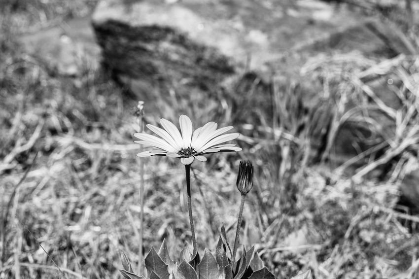 The wildflower Light And Shadow Black And White Monochrome Plant Growth Focus On Foreground Field Land Flower Beauty In Nature Nature Flowering Plant Day Vulnerability  Fragility Close-up Flower Head Grass Outdoors