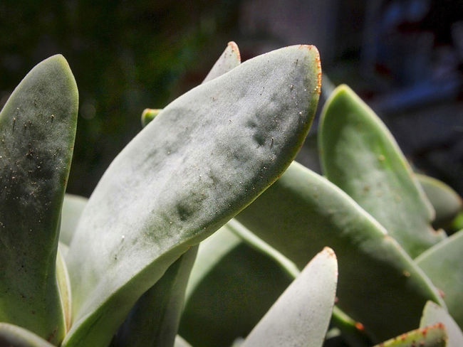 Close-up Green Color Grey Green Leaves Juicy Leaves Leaf No People Plump Leaves Selective Focus Succulent Plant