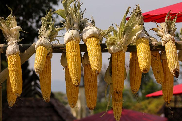 Close-up of corns hanging on metallic rod at farm