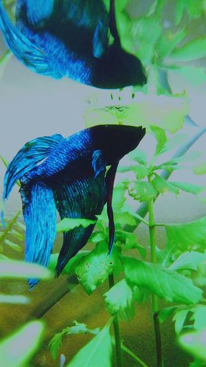 my lovely bettafish Betta  Betta Splendens Bettafish Bettafishcommunity Animal Themes One Animal Animal Wildlife Insect Animals In The Wild No People Green Color Butterfly - Insect Nature Mammal Beauty In Nature Freshness Pets