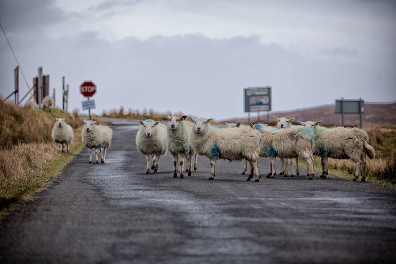 Group of sheep standing on road