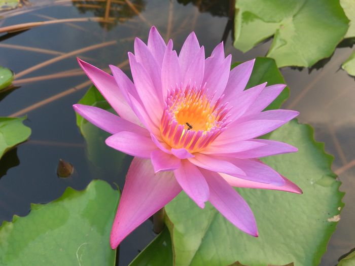 Flower Head Flower Water Pink Color Lotus Water Lily Petal Water Lily Leaf Insect Floating On Water EyeEmNewHere A New Beginning