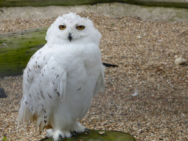 Bird Close-up Hedwig Owl Snowy Owl White White Color Wildlife