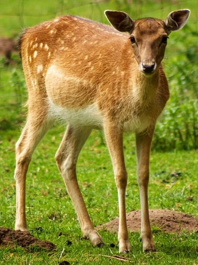 YOUNG DEER Nature On Your Doorstep Nature Nature_collection EyeEm Nature Lover Animal Photography Deer Animal_collection EyeEm Animal Lover Nature Photography Wildlife & Nature