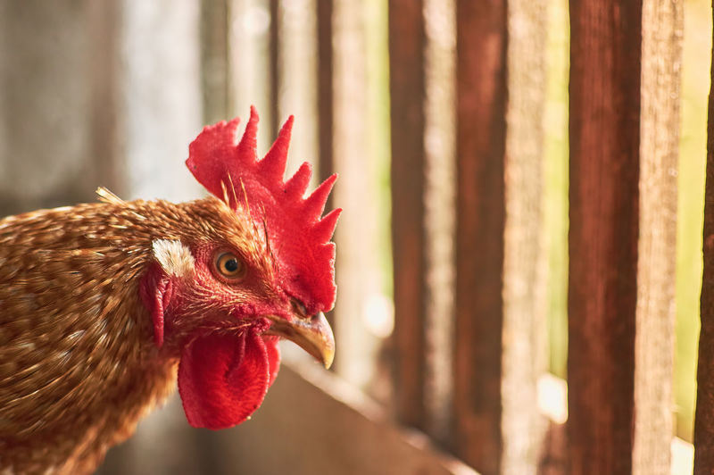 Red rooster close up head portrait in the poultry yard