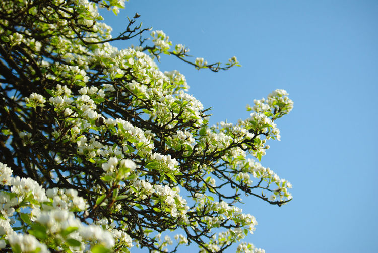 Pear Blossoms Beauty In Nature Blue Blue Sky Branch Branches And Sky Clear Sky Flowering Plant Freshness Green Color Growth Outdoors Pear Tree  Plant Scenics Sky Sky And Branches Spring Springtime Tree Vulnerability  White Blossoms