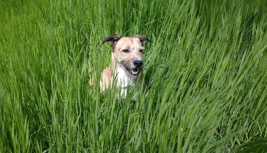 Animal Head  Animal Themes Dog Dog In Grass Grass Green Color Happy Dog Nature Pets Plant Portrait Selective Focus Spring