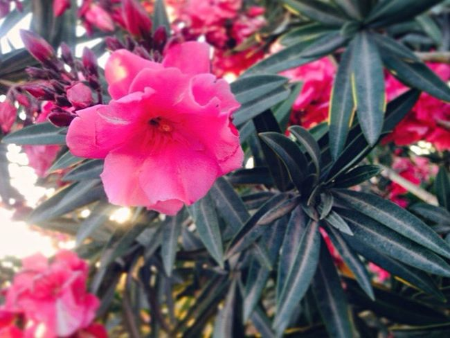Flower Pink Color Petal Growth Flower Head Nature Beauty In Nature Fragility Plant Nature Smell EyeEm Nature Lover 🌺🌱