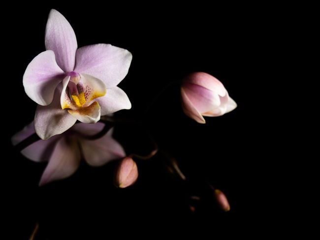 Flower Flowering Plant Fragility Freshness Petal Beauty In Nature Vulnerability  Plant Inflorescence Flower Head Studio Shot Black Background Close-up Nature Growth No People Pollen Indoors  Pink Color