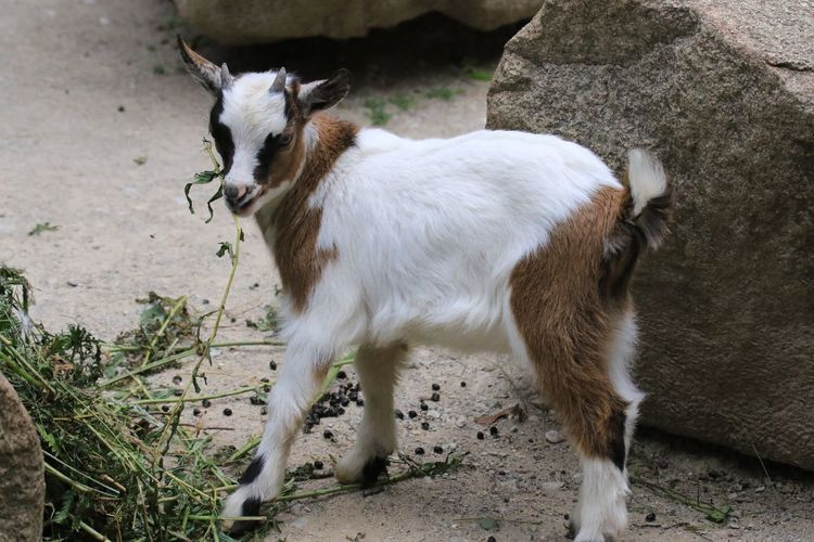 High Angle View Of Kid Goat Grazing By Rock