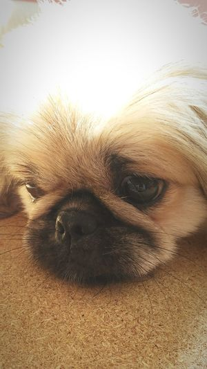 Pekingese I Love My Dog