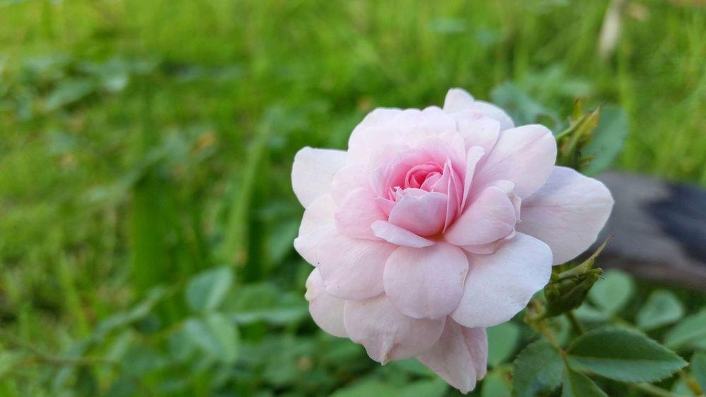 Flower Rosé Pink Pink Rose Rose Flower Pink Rose Flower Nature