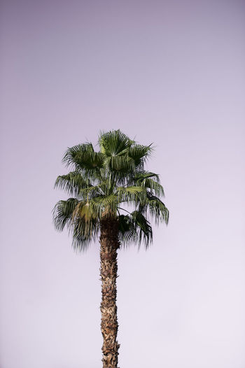 Palm tree with purple sky Palm Tree Tropical Climate Tree Plant Growth Sky Trunk Tree Trunk Tall - High Beauty In Nature Nature Low Angle View Clear Sky No People Tranquility Copy Space Coconut Palm Tree Tropical Tree Outdoors Single Tree Palm Leaf