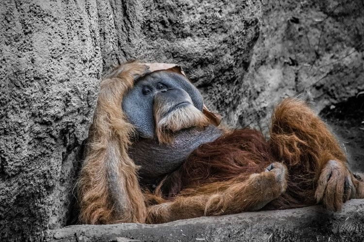 Portrait of a monkey resting on rock