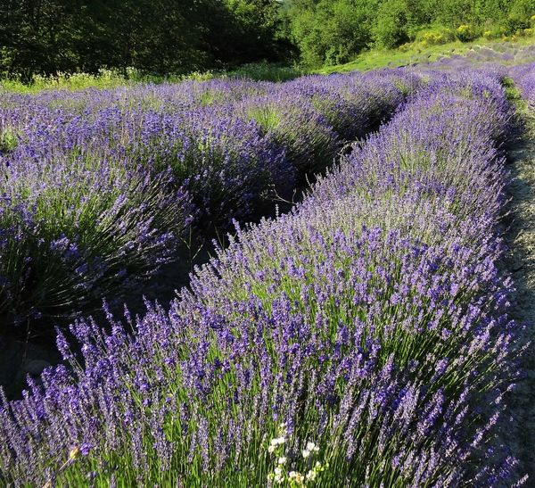 Beauty In Nature Field Flower Grass Growth Lavender Lavender Color Lavender Colored Lavender Farm Lavender Field Lavender Flowers Lavenderflower Lavenderlove Nature No People Outdoors Plant Purple Purple Flowers