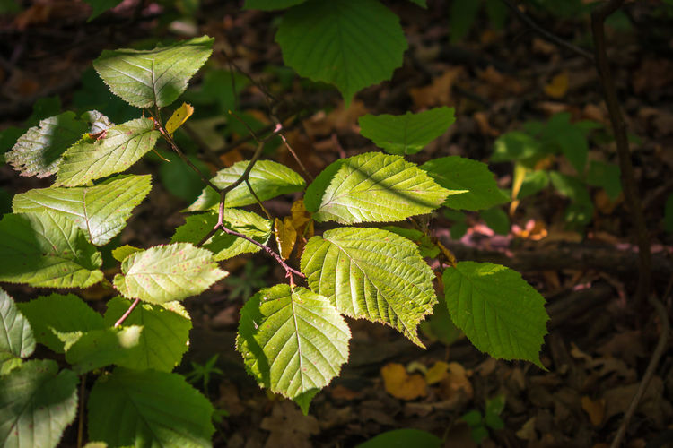 Close-up of green leaves on plant