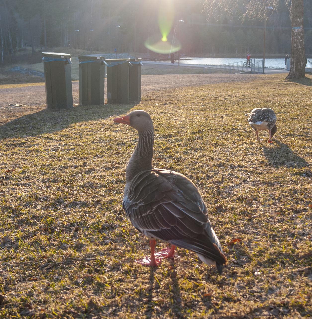animal themes, bird, animals in the wild, goose, animal wildlife, nature, field, no people, greylag goose, day, geese, one animal, outdoors, water bird, lake, water, beauty in nature