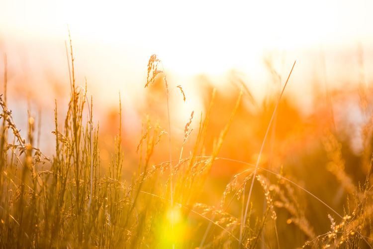 Agriculture Back Lit Beauty In Nature Bright Brightly Lit Cereal Plant Crop  Field Grass Growth Land Landscape Lens Flare Nature No People Outdoors Plant Rural Scene Sky Sun Sunbeam Sunlight Sunset Tranquility