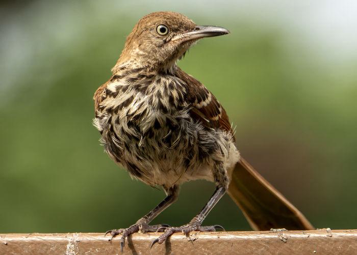 Brown bird on the deck