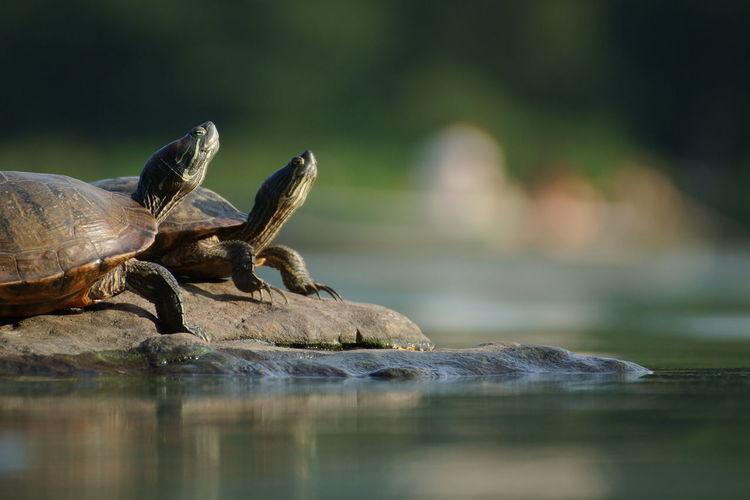 Turtles on rock by lake