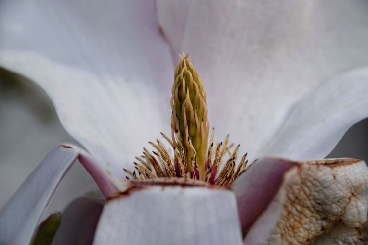 Verfallende Magnolienblüte Beauty In Nature Botany Close-up Cropped Day Decay Detail Flower Flower Head Focus On Foreground Fragility Freshness Growth Leaf Nature No People Part Of Petal Plant Selective Focus Softness Stem White