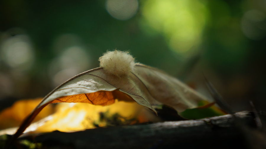 Little fuzzy Autumn Autumn Autumn Colors Autumn Leaves Beauty In Nature Bokeh Botany Change Close-up Dry Fragility Fungi Focus Object Fuzzball  Fuzzy Leaf Leaves Natural Condition Nature No People Outdoors Selective Focus Softness Tranquility Uncultivated