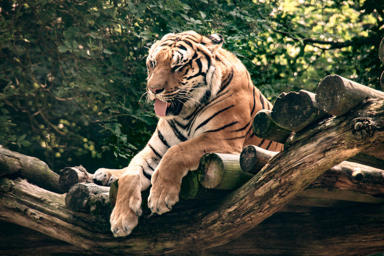 Tiger against trees