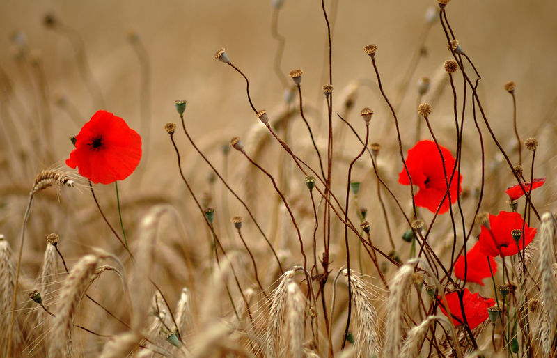 Close-Up Of Wheat Crop With Red Flower