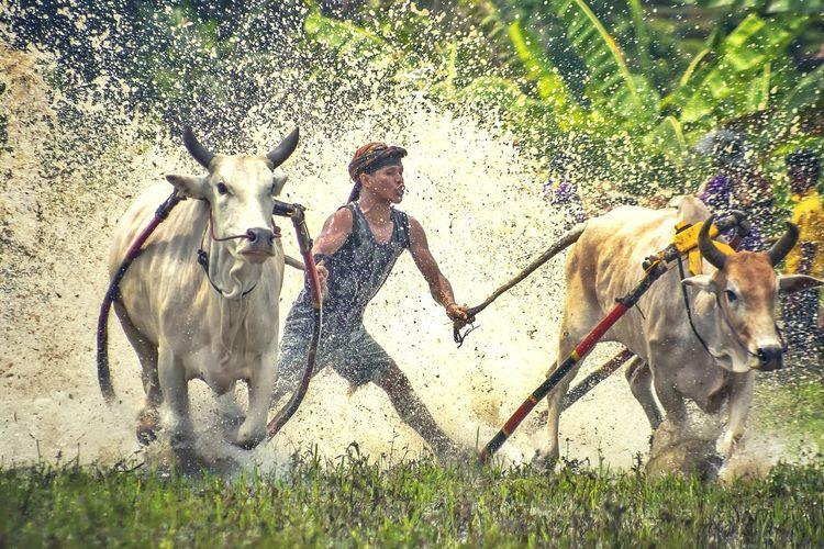 Young man herding cows at farm