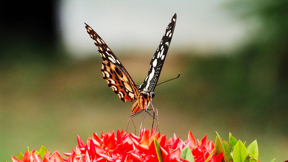 Nature Beauty In Nature Close-up Butterfly Flower Plant One Animal One Butterfly. Colorful Butterfly Beautiful Nature Beautiful Animal